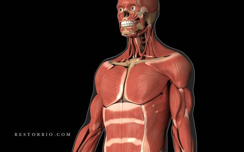 What Are The Effects Of Aging On The Muscular System?